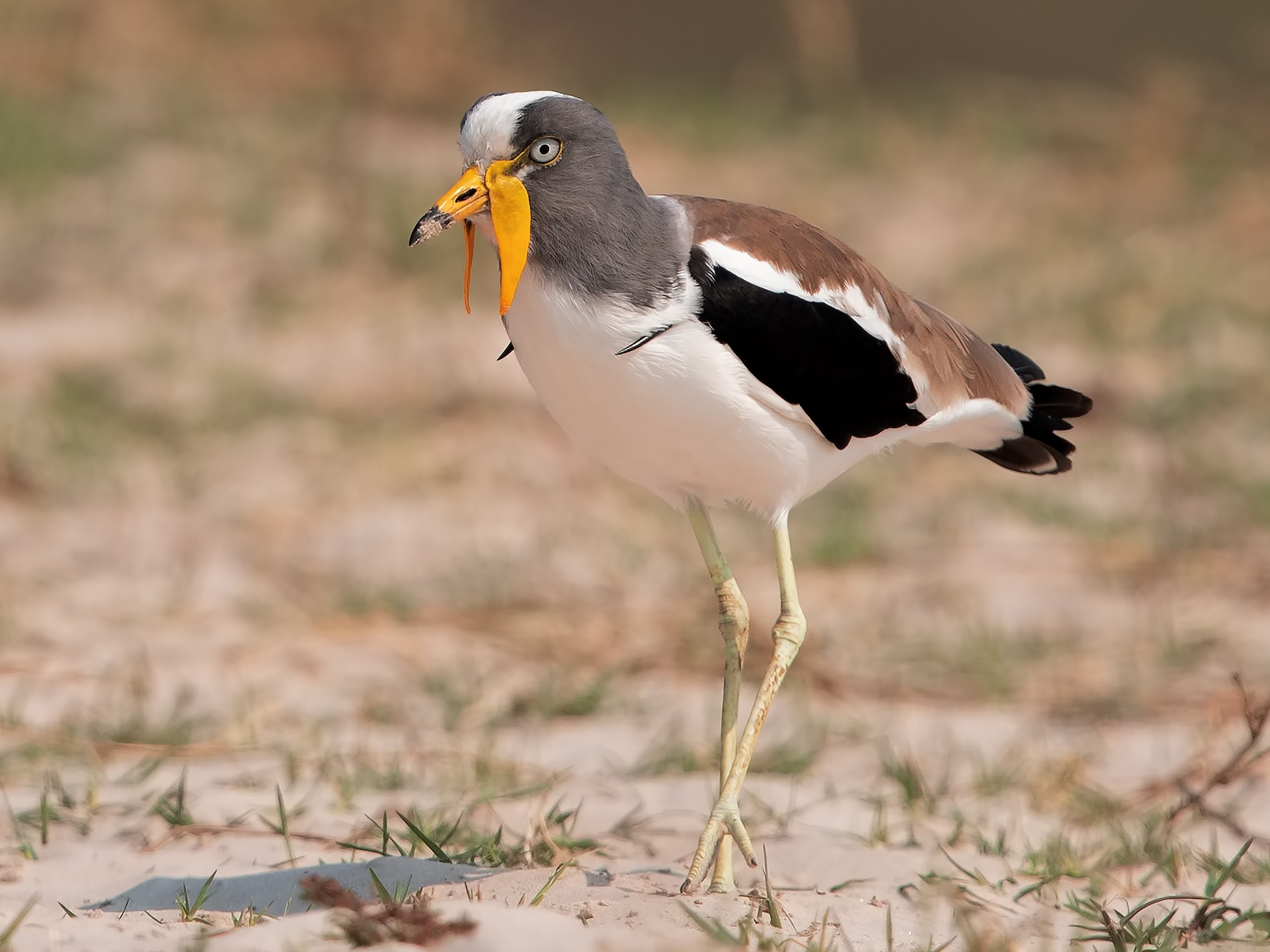 White-headed Lapwing - Marco Valentini