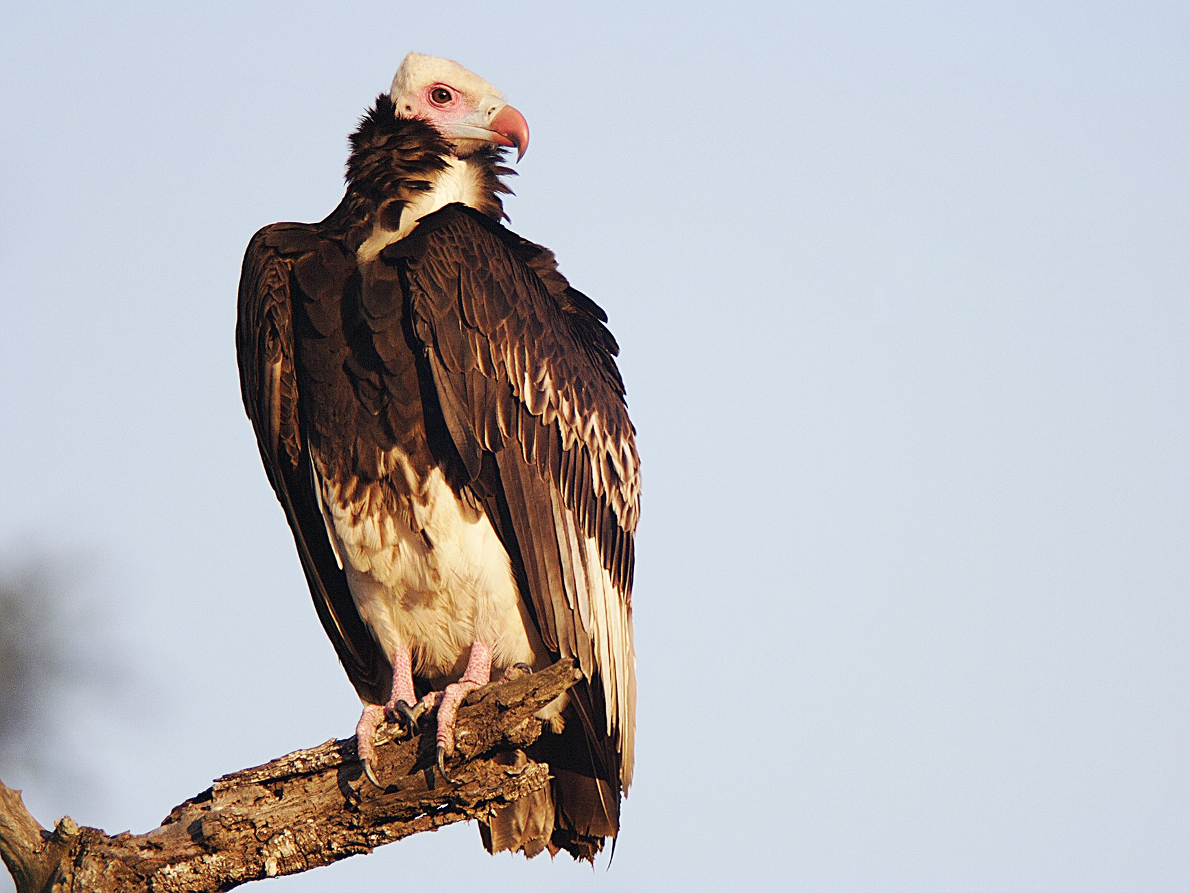 White-headed Vulture - Daryl Dell