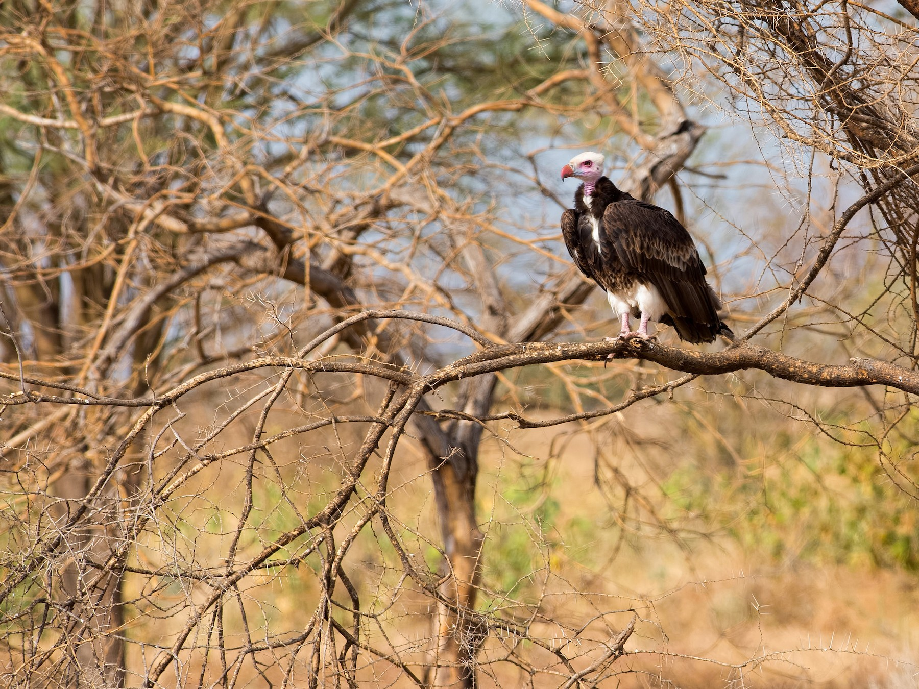 White-headed Vulture - Shailesh Pinto