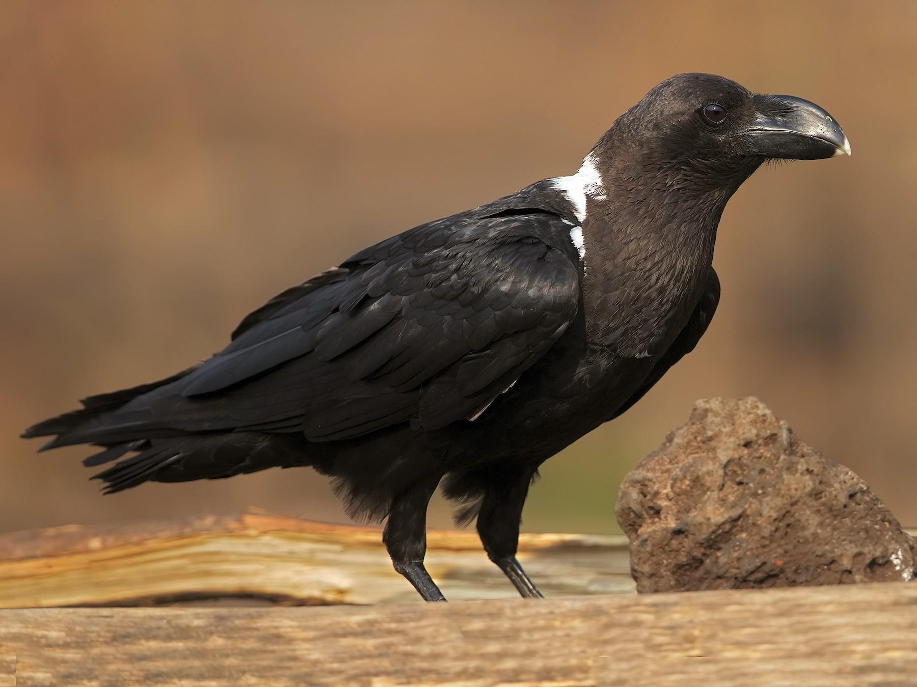 White-necked Raven - Marco Valentini