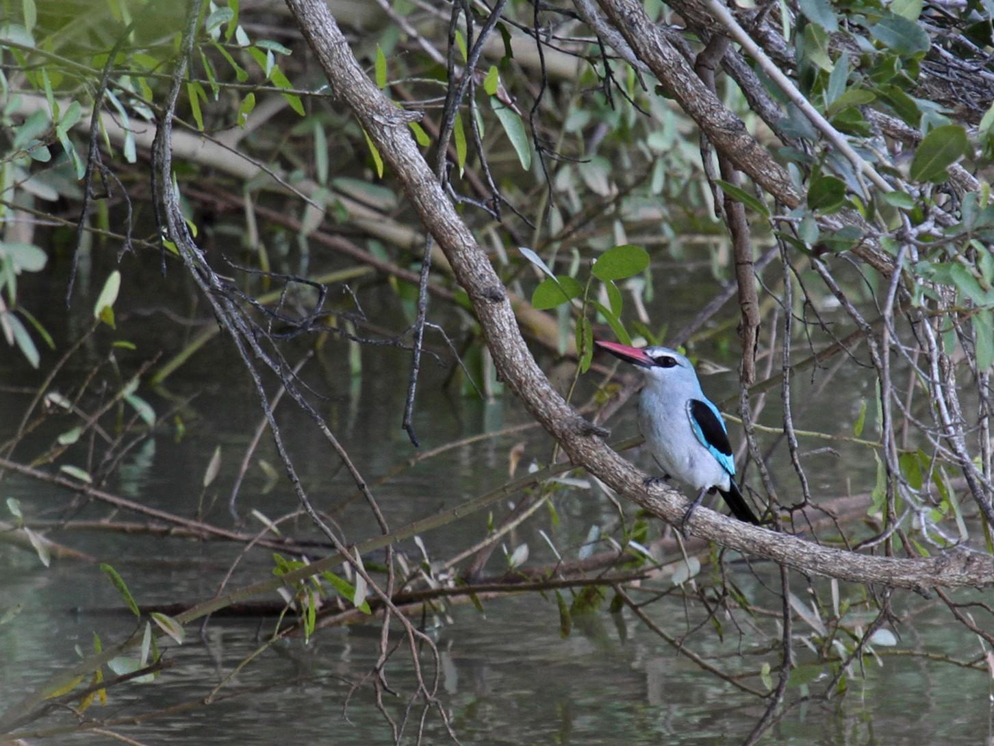 Woodland Kingfisher - Margot Oorebeek