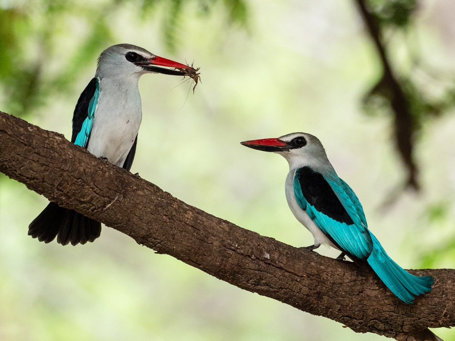 Woodland Kingfisher - Forest Jarvis