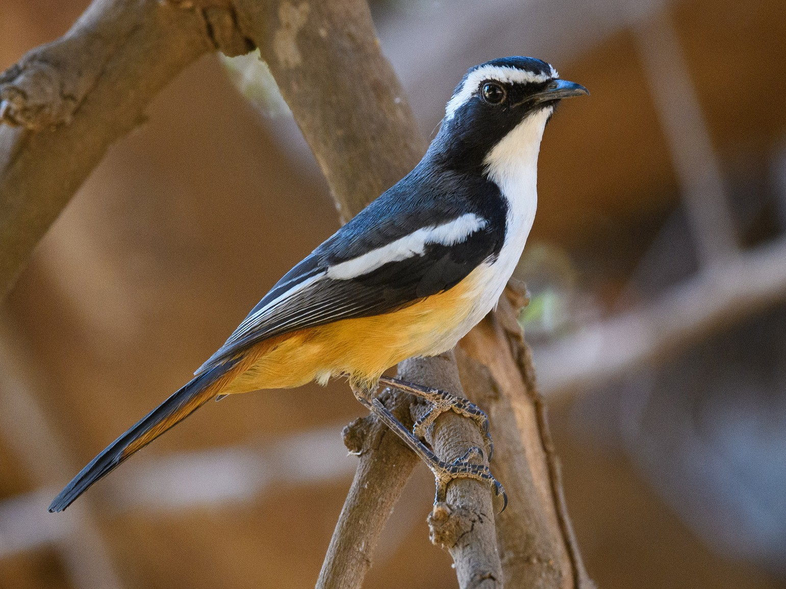 White-throated Robin-Chat - Dylan Vasapolli - Birding Ecotours