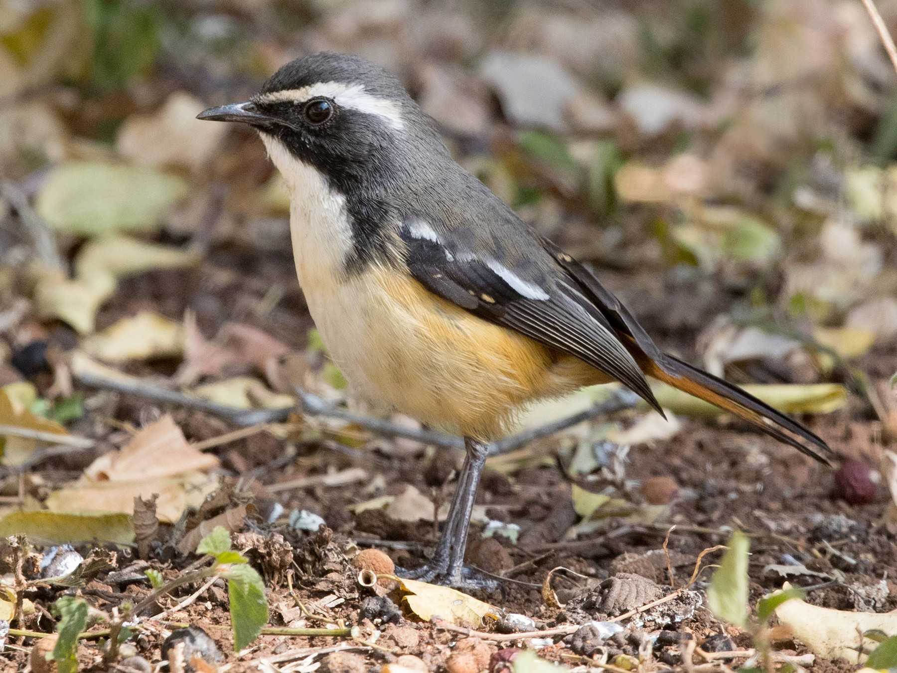 White-throated Robin-Chat - David Irving