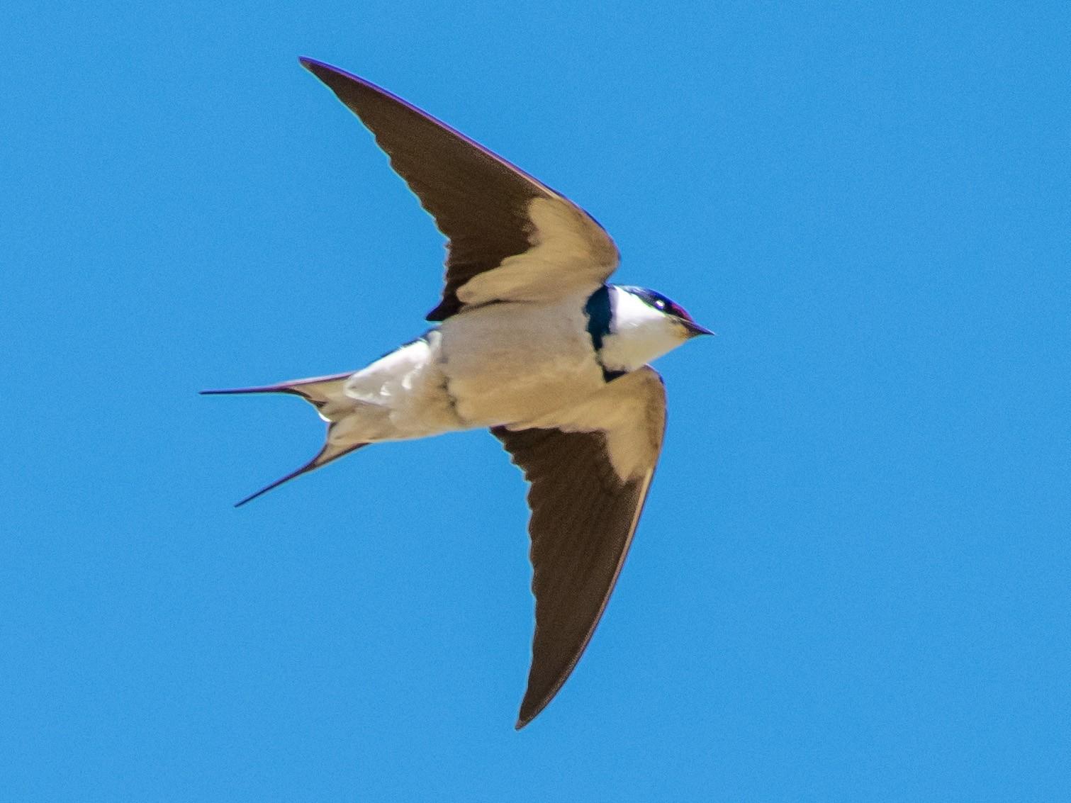 White-throated Swallow - Hank Davis