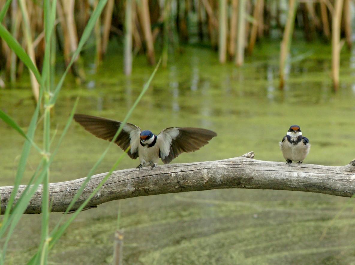 White-throated Swallow - Stuart Turner