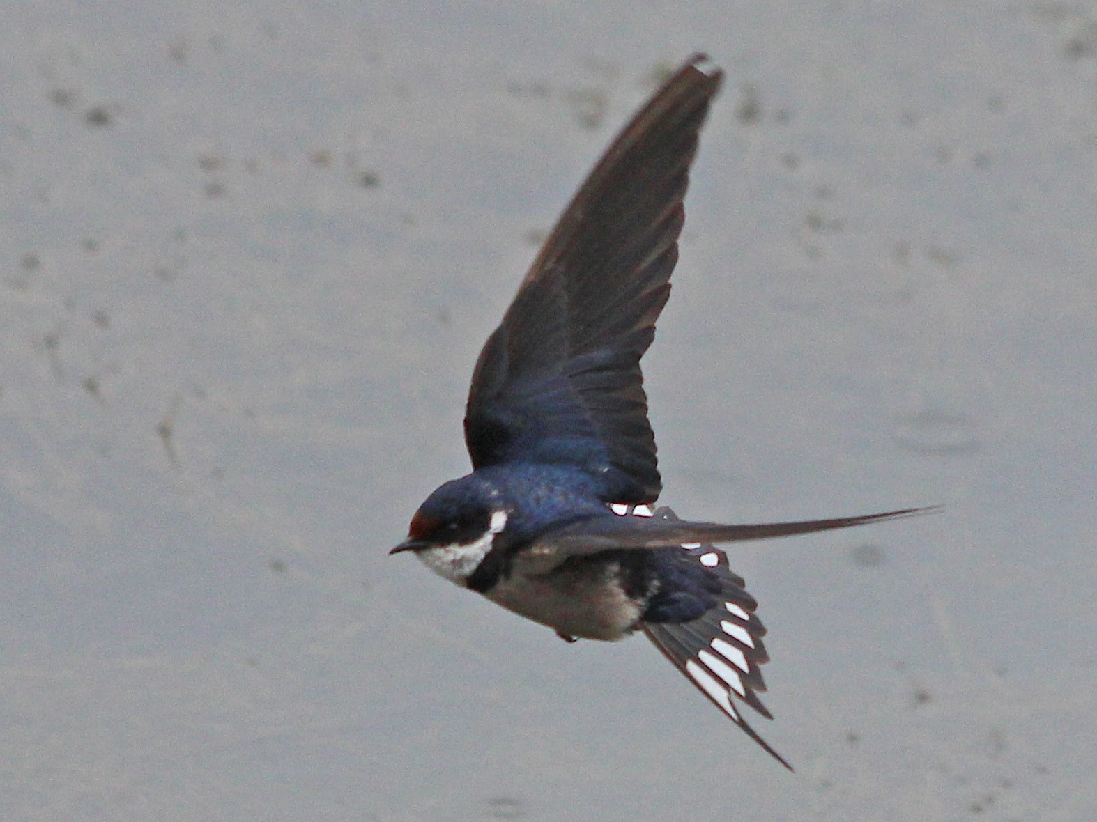 White-throated Swallow - Manuel Schwarz