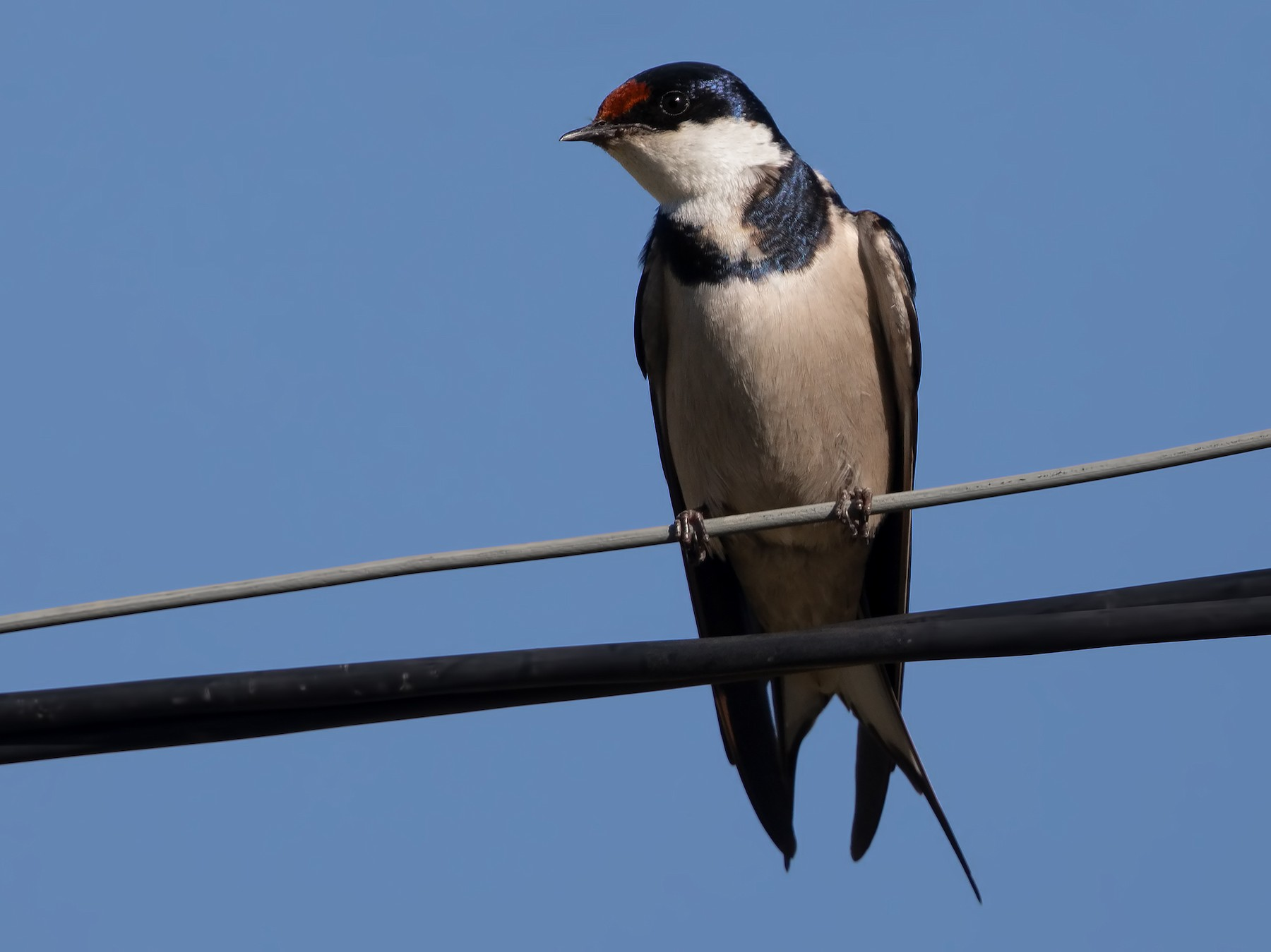 White-throated Swallow - Marco Valentini