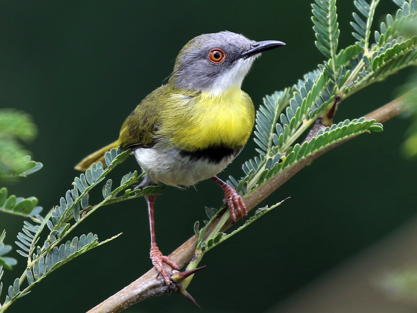 Yellow-breasted Apalis - Dean LaTray