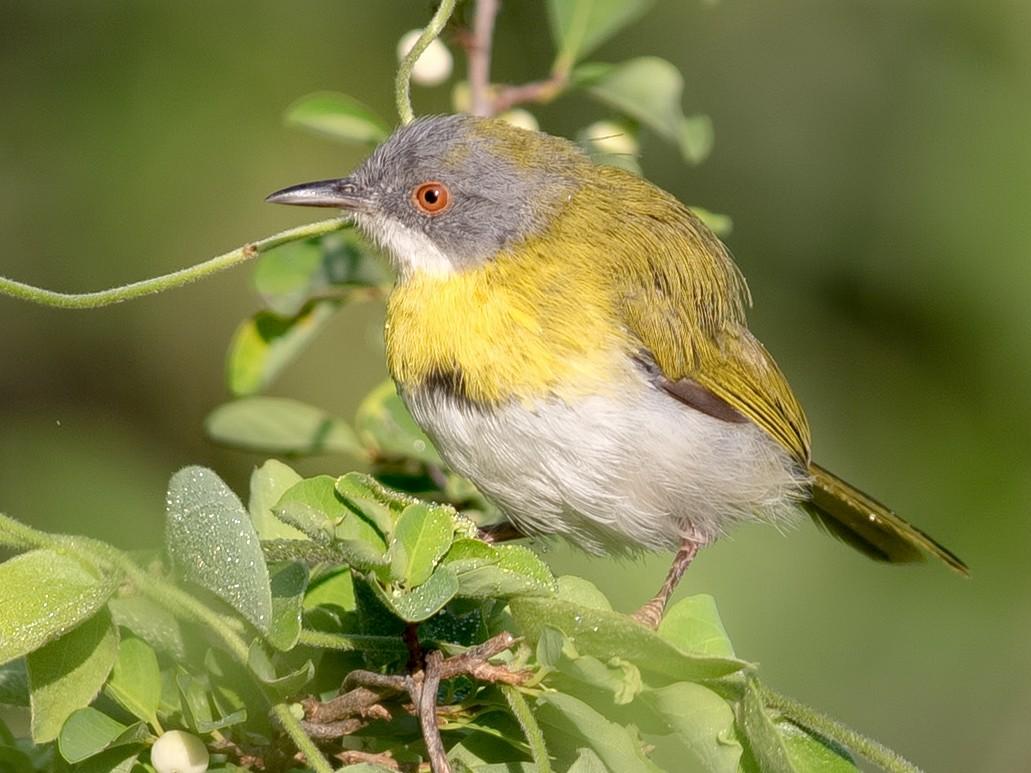 Yellow-breasted Apalis - Shailesh Pinto