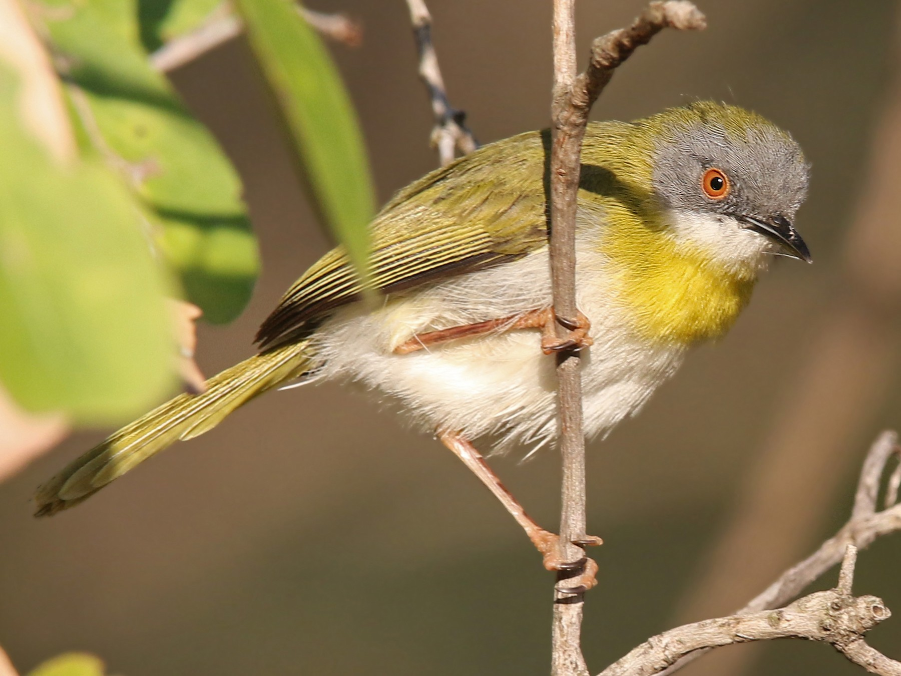 Yellow-breasted Apalis - Volker Hesse