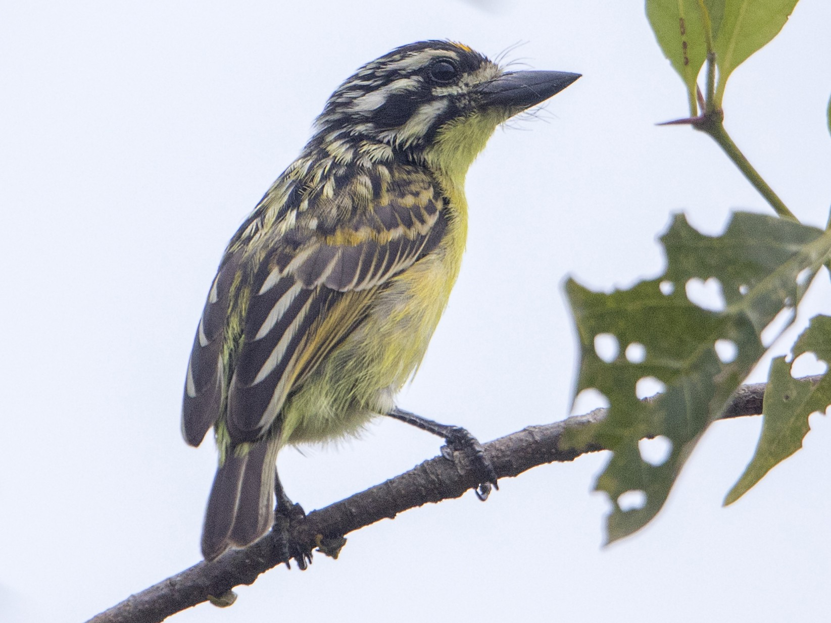 Yellow-fronted Tinkerbird - Bradley Hacker