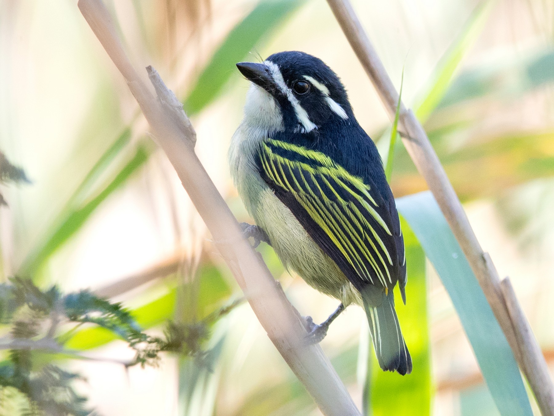Yellow-rumped Tinkerbird - David Irving