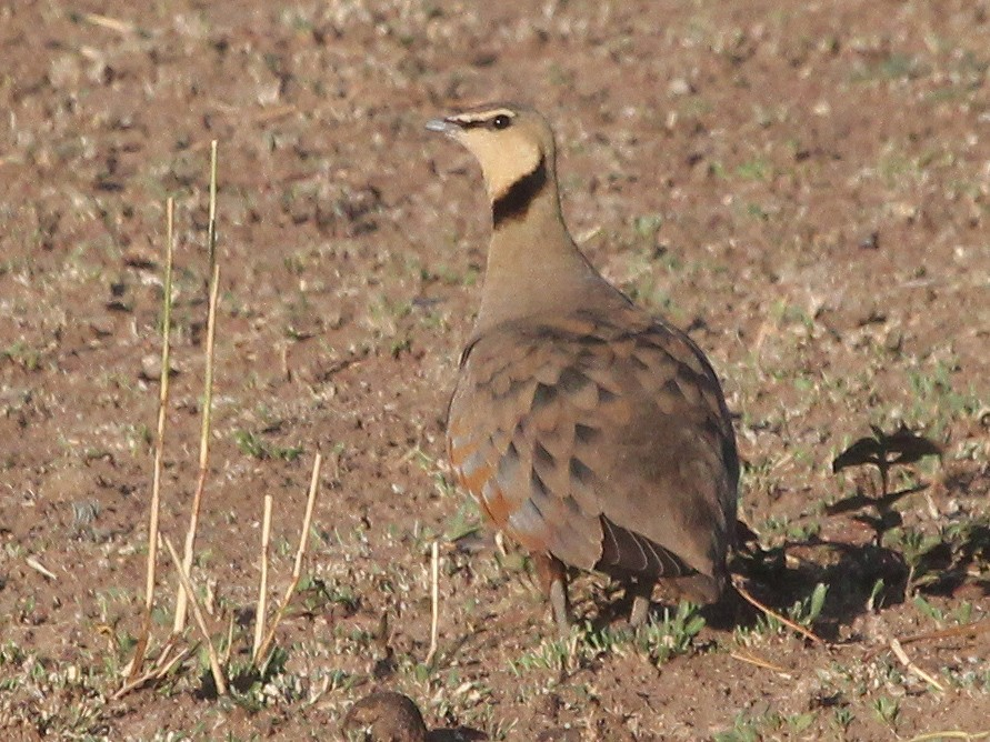 Yellow-throated Sandgrouse - Alexander Lees
