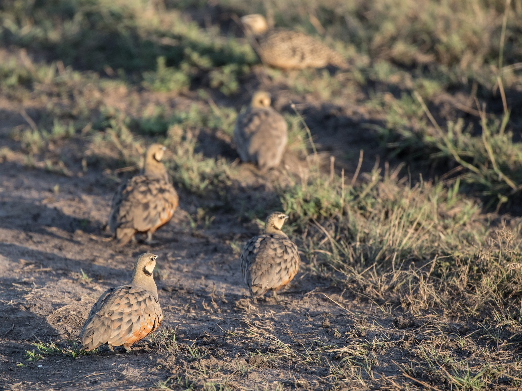 Yellow-throated Sandgrouse - Louis Brodeur