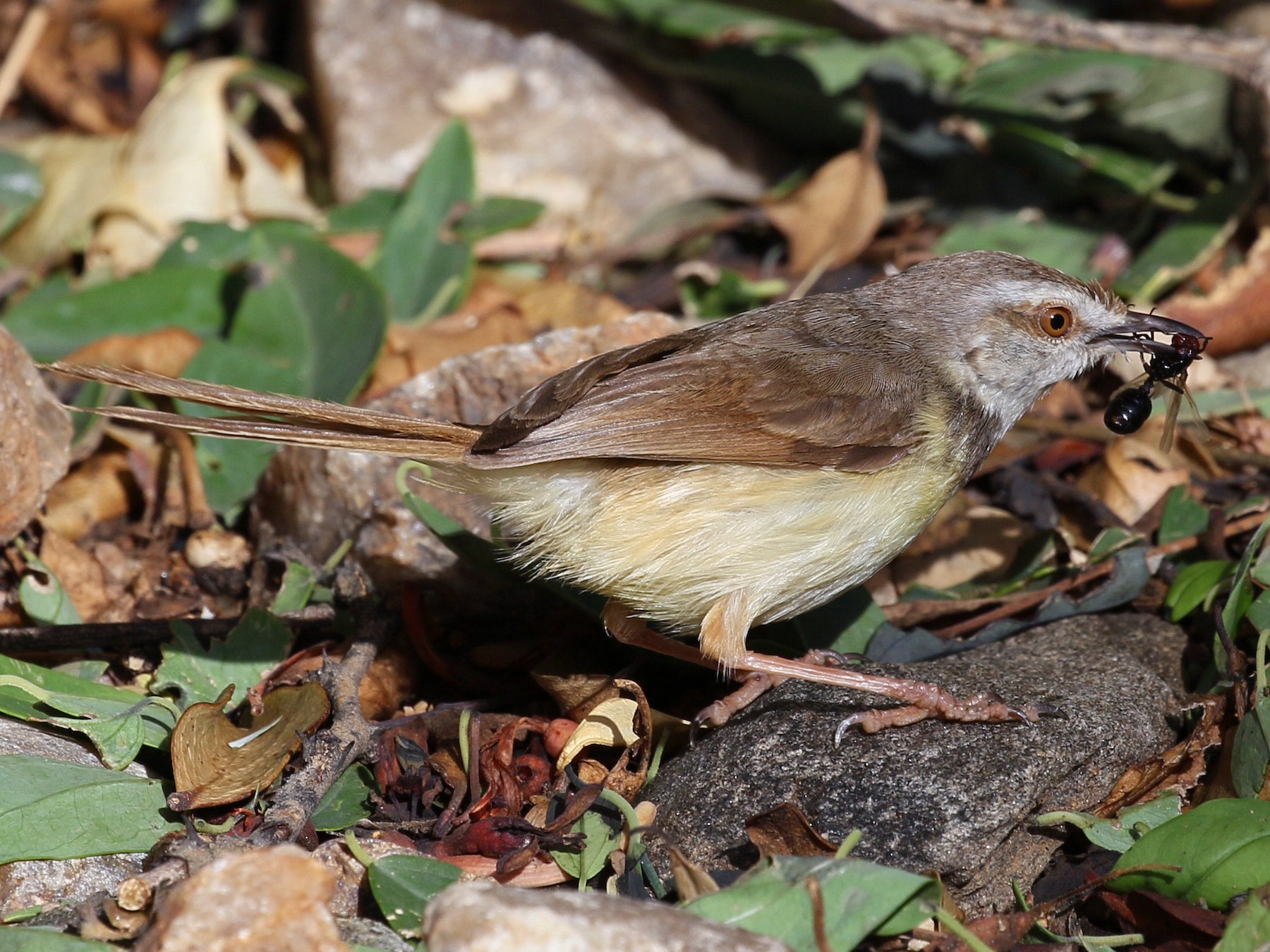 Black-chested Prinia - Charlotte Byers