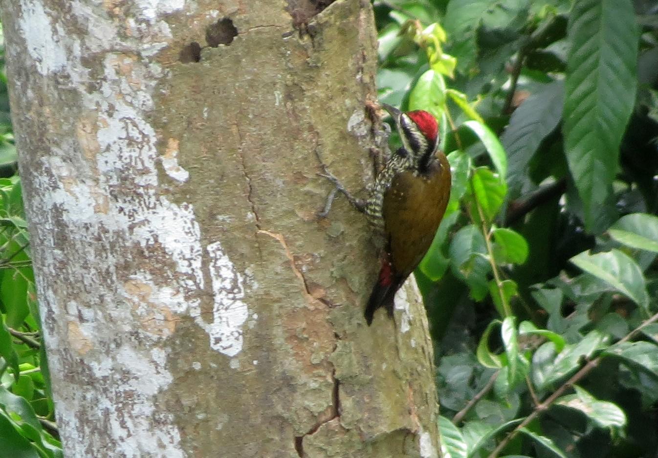 Fire-bellied Woodpecker - Allen Lewis