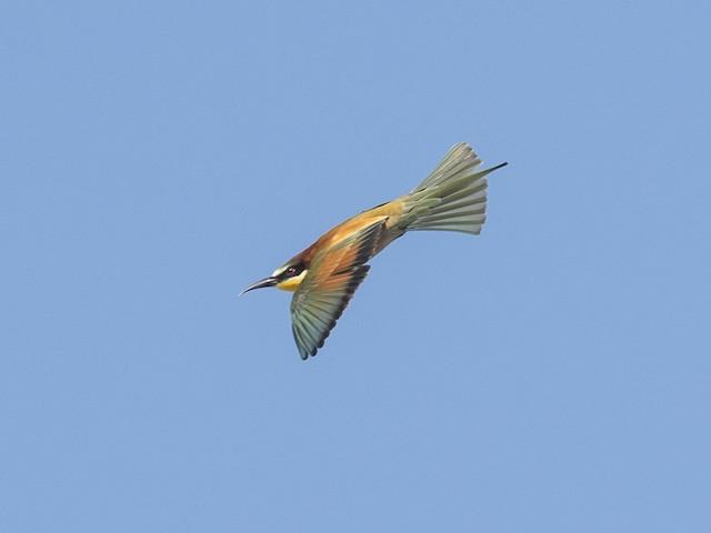©Subhadra Devi - European Bee-eater