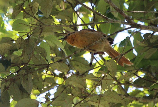 Buff-fronted Foliage-gleaner