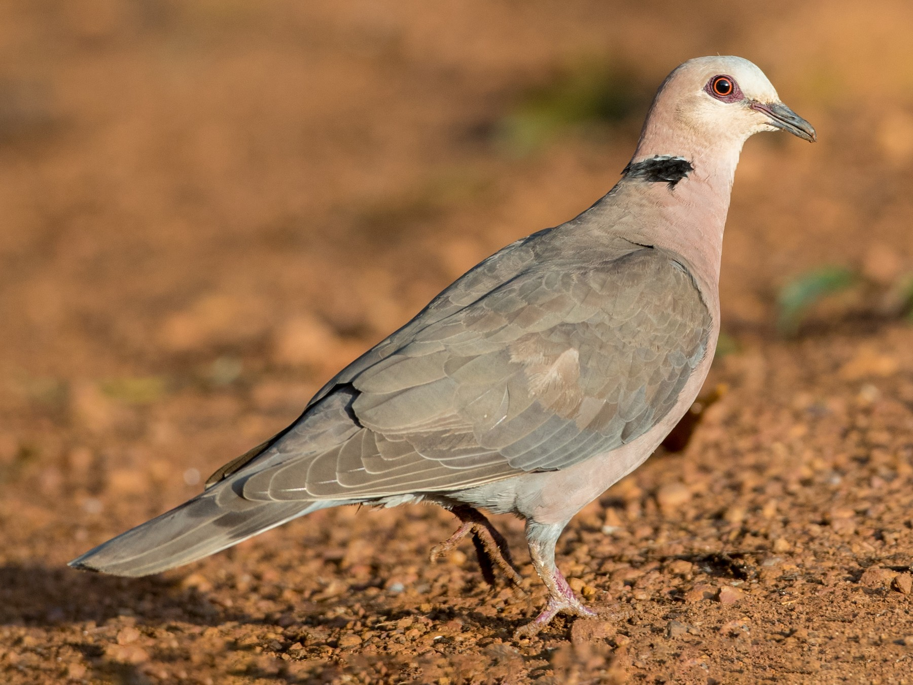 Red-eyed Dove - Ian Davies