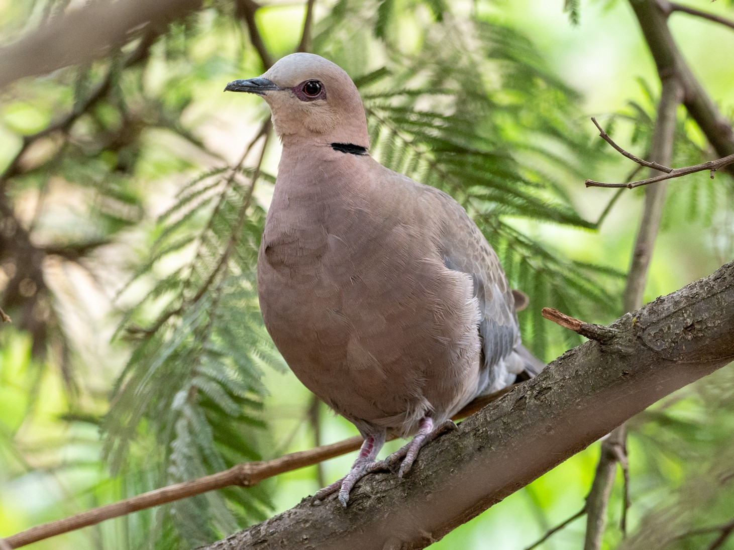 Red-eyed Dove - Forest Jarvis