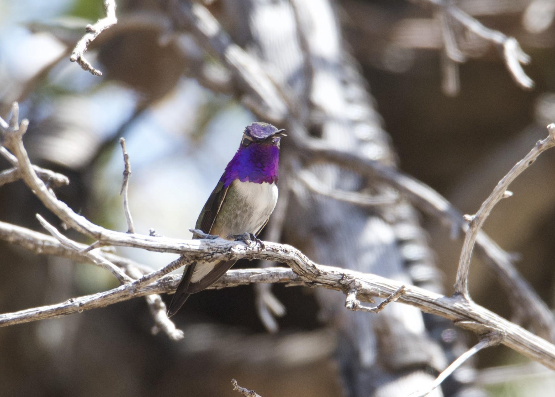 Lucifer x Costa's Hummingbird (hybrid) - Kanayo Rolle