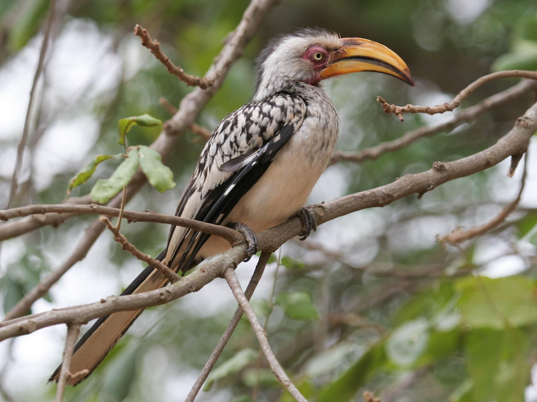 Southern Yellow-billed Hornbill - Geoff Dennis
