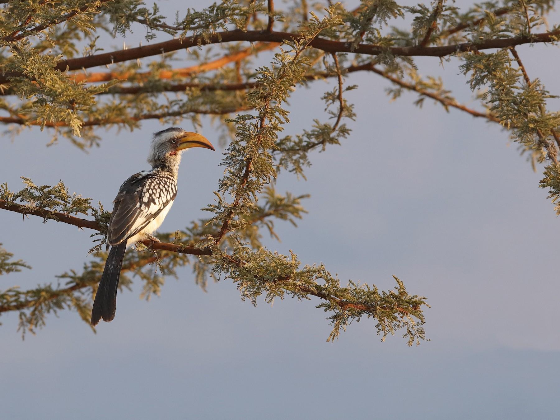 Southern Yellow-billed Hornbill - Holger Teichmann