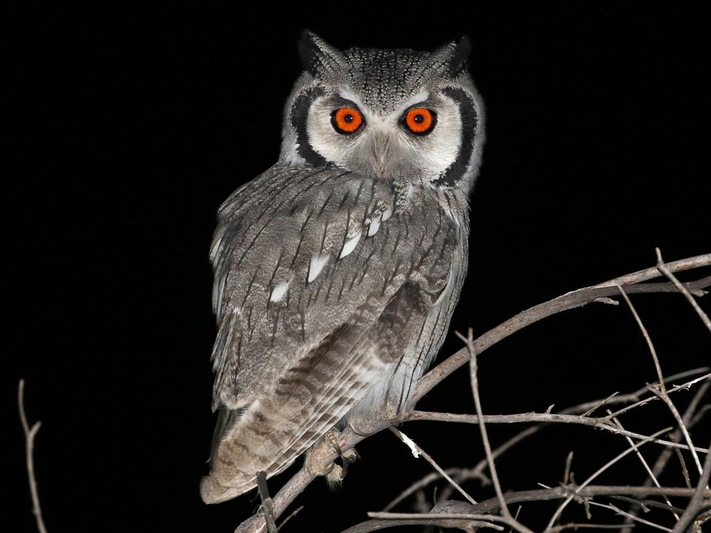 Southern White-faced Owl - Charley Hesse TROPICAL BIRDING