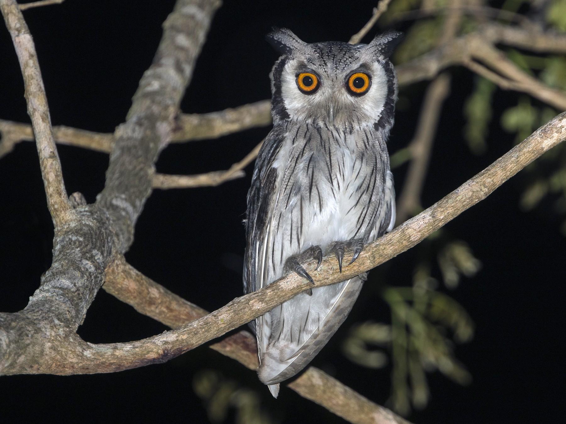 Southern White-faced Owl - Zak Pohlen