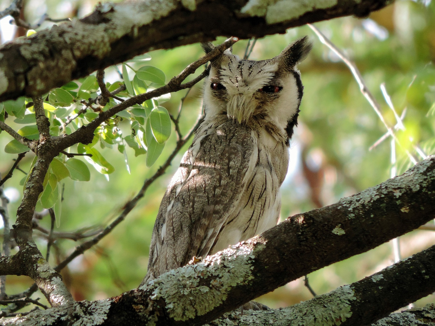 Southern White-faced Owl - Ian Riddell