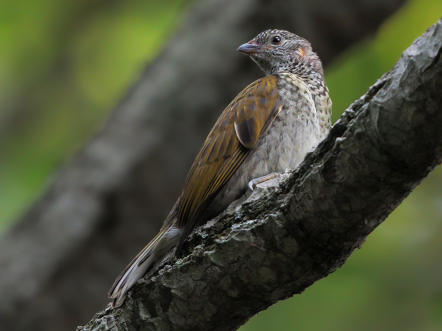 Scaly-throated Honeyguide - Marco Valentini