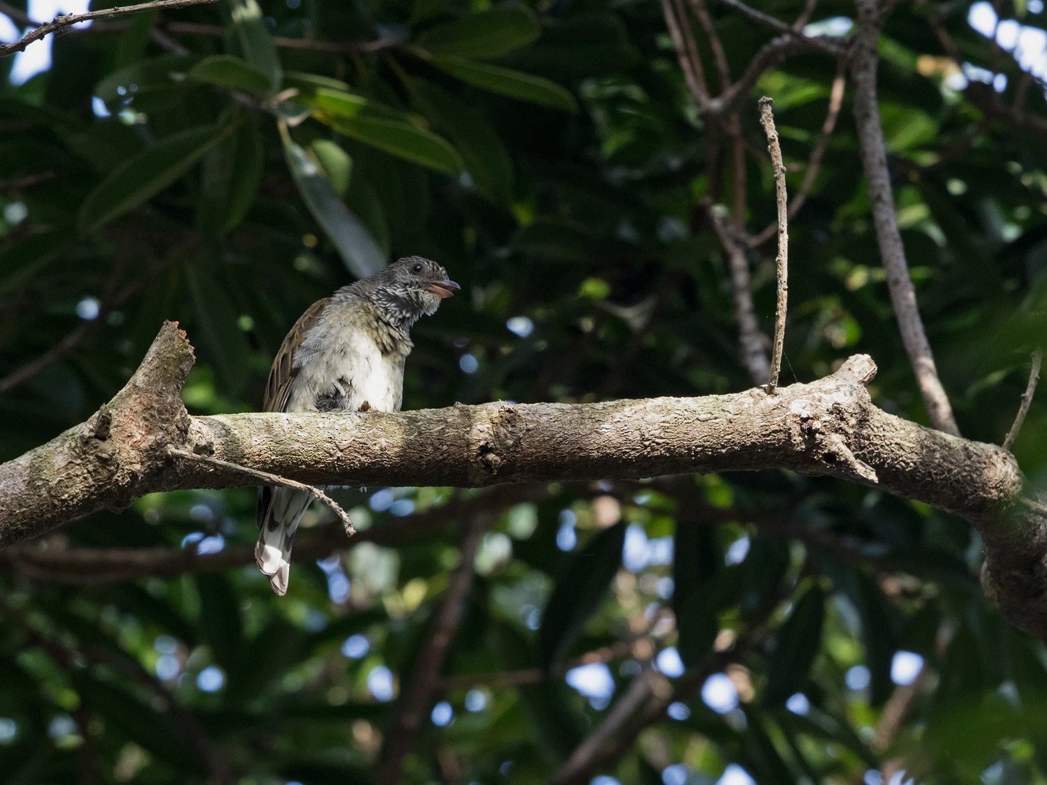 Scaly-throated Honeyguide - Niall D Perrins