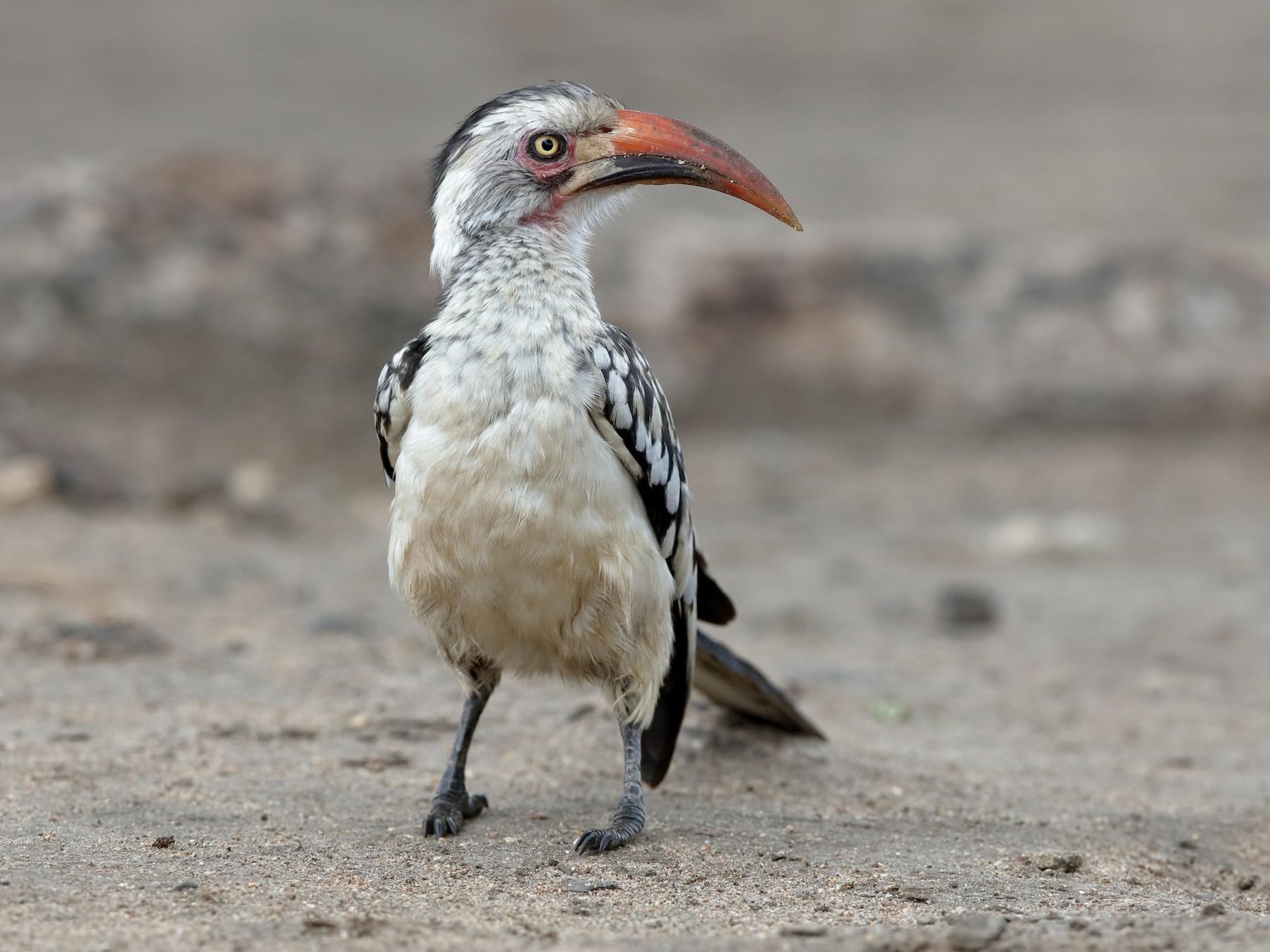 Southern Red-billed Hornbill - Holger Teichmann