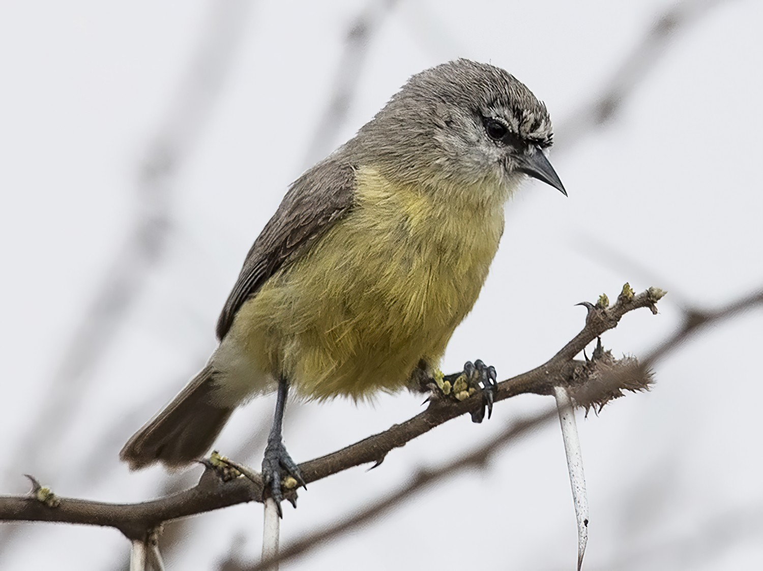 Southern Penduline-Tit - Niall D Perrins