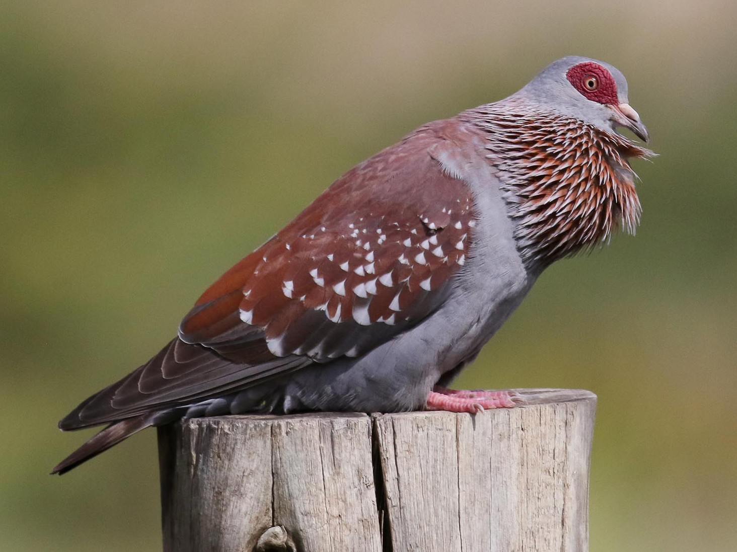 Speckled Pigeon - Michael O'Brien