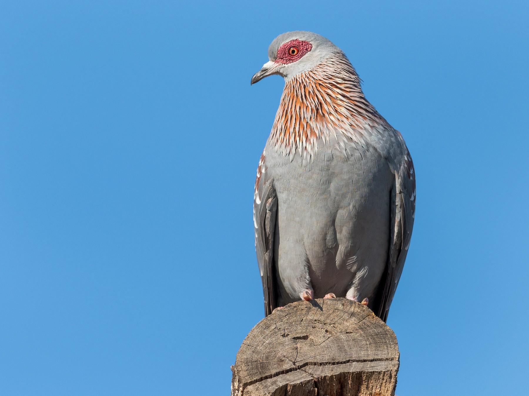 Speckled Pigeon - Jean-Louis  Carlo