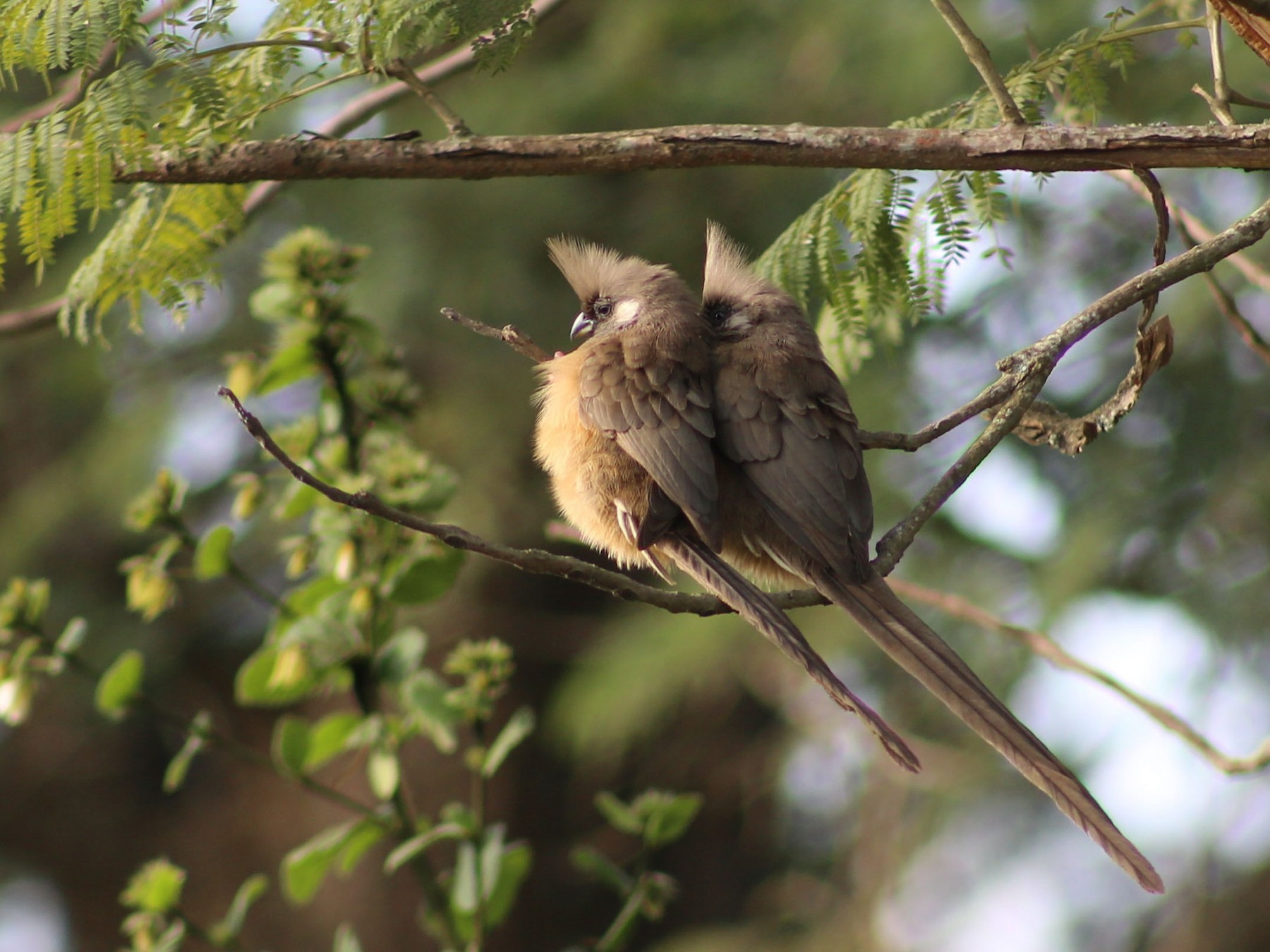 Speckled Mousebird - Morgan Van Peursem