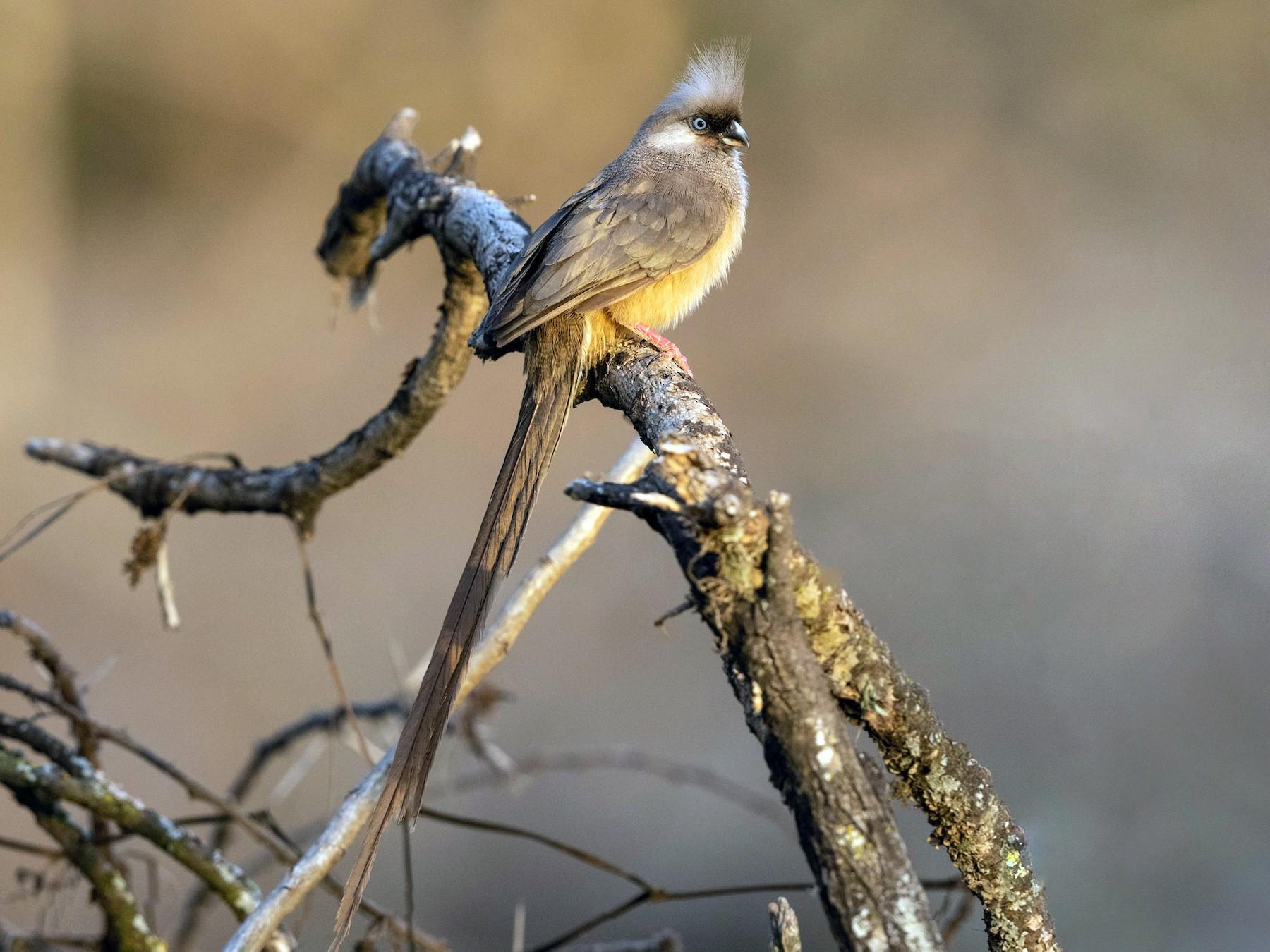 Speckled Mousebird - Stefan  Hirsch