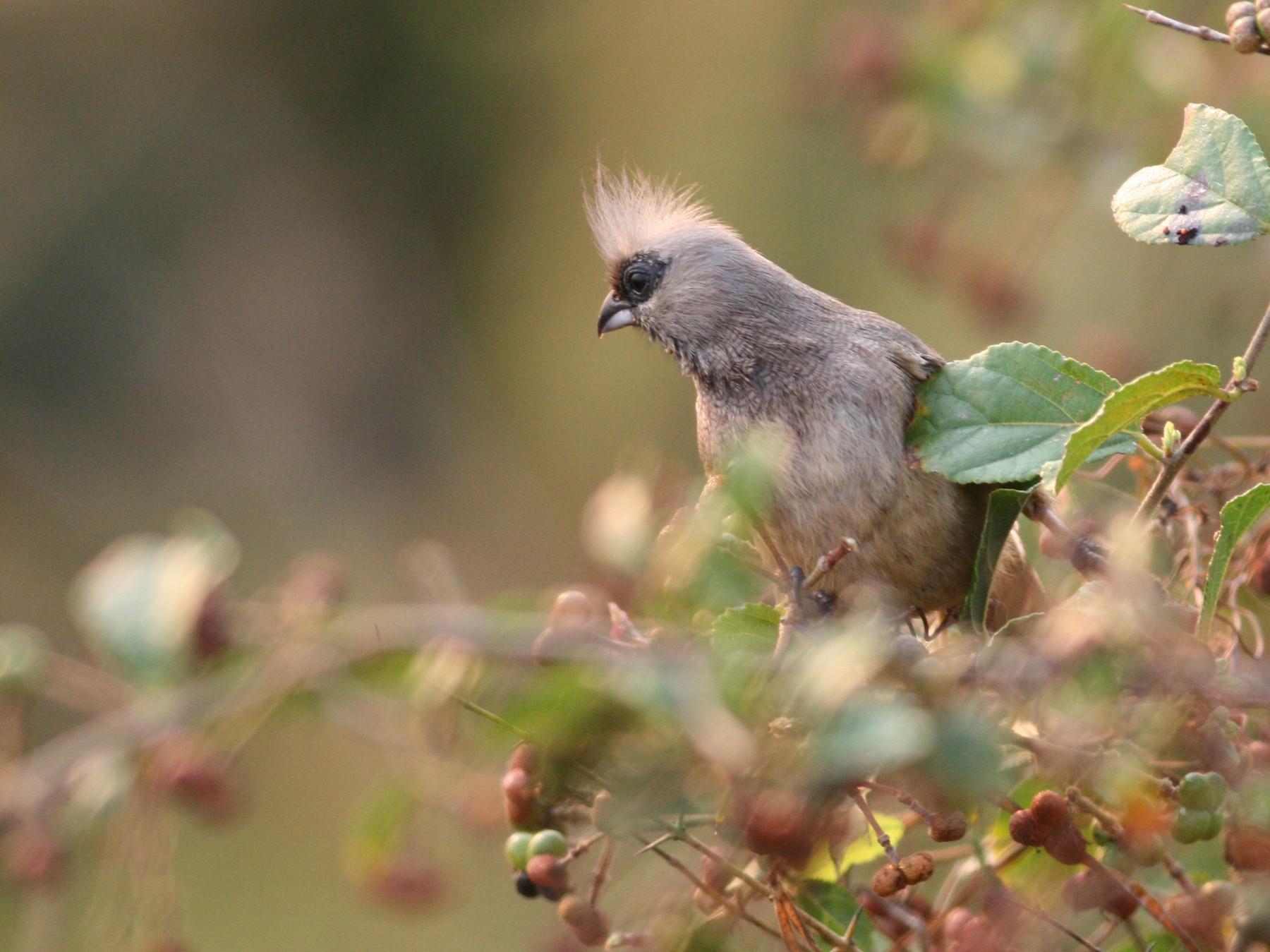Speckled Mousebird - Hendrik Swanepoel