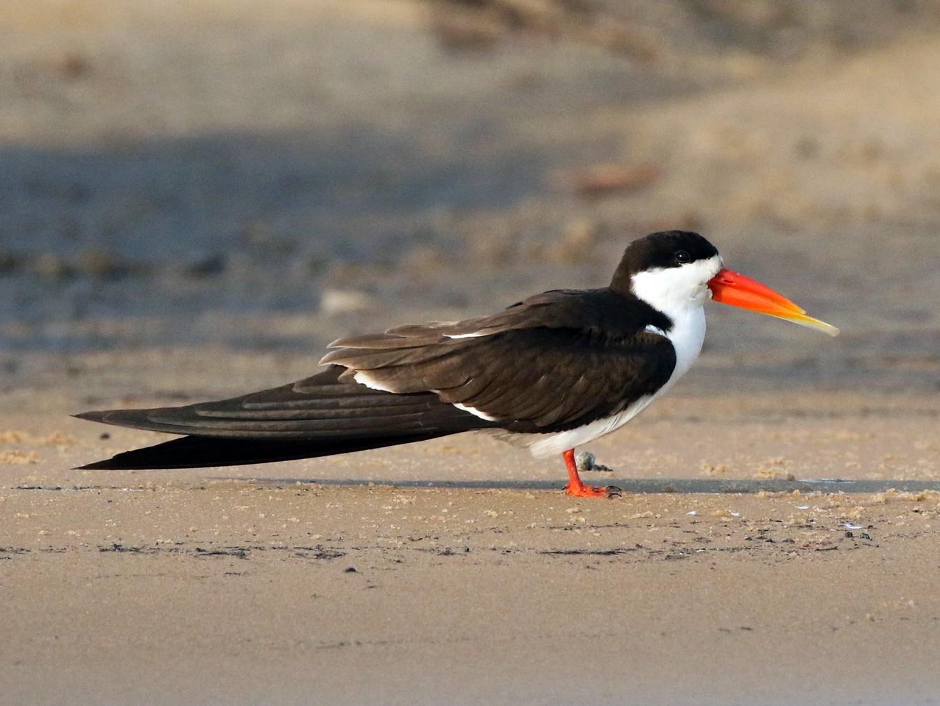 African Skimmer - Charley Hesse TROPICAL BIRDING