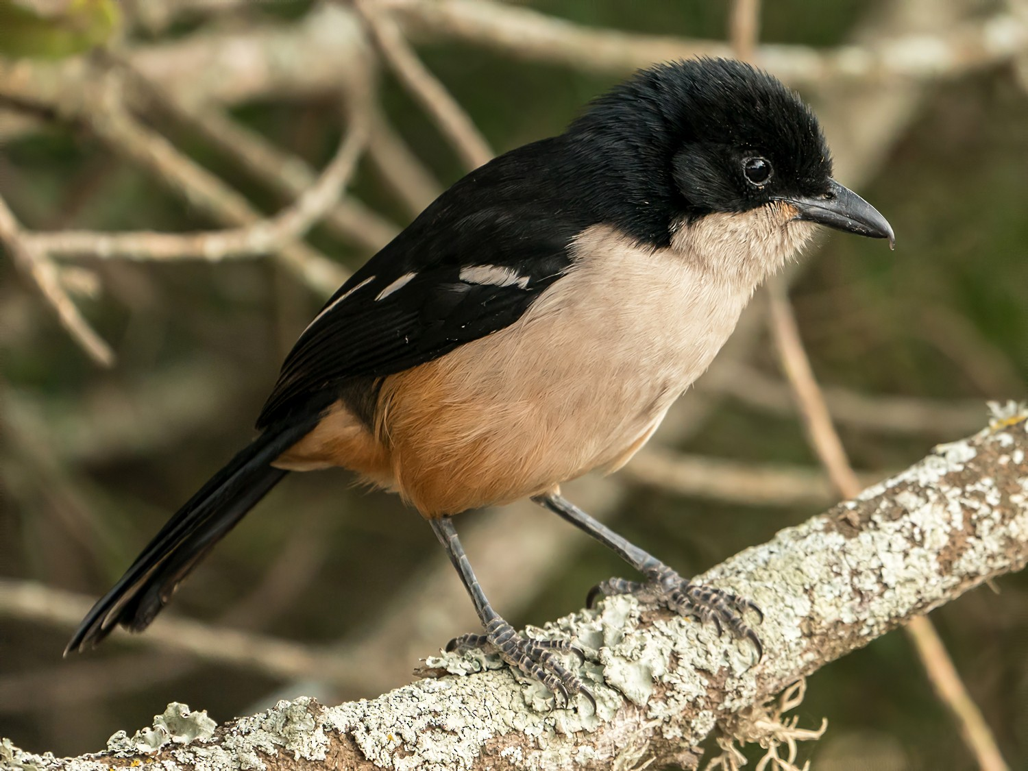 Southern Boubou - Joao Quental JQuental