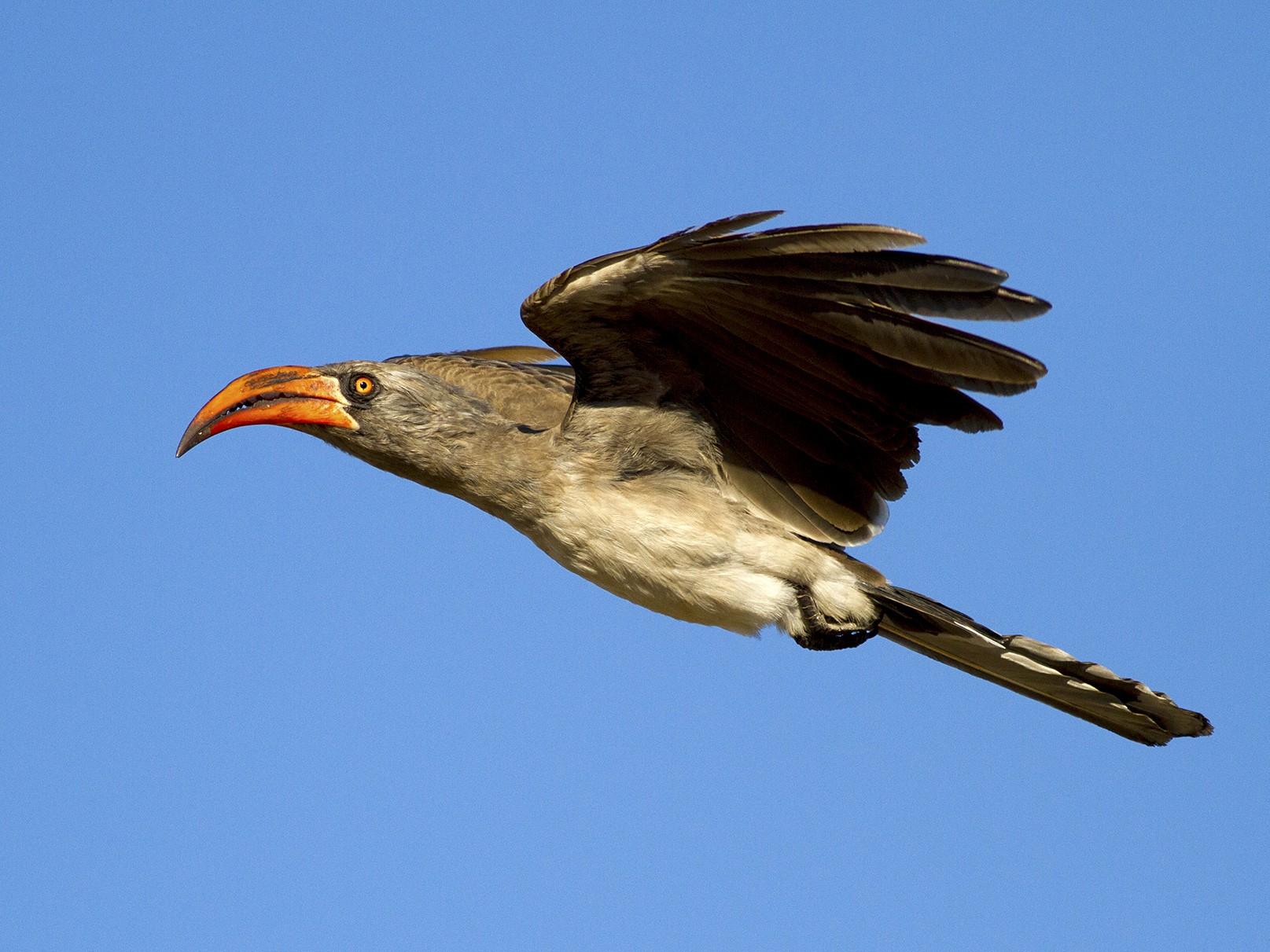 Bradfield's Hornbill - Stephen Murray