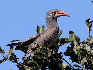 - Bradfield's Hornbill