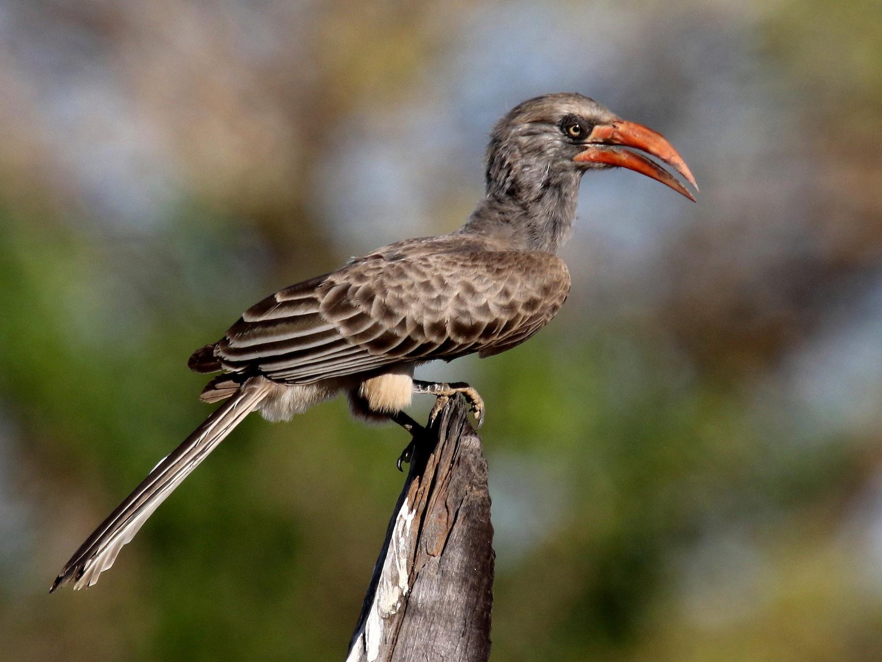 Bradfield's Hornbill - Stephen Gast