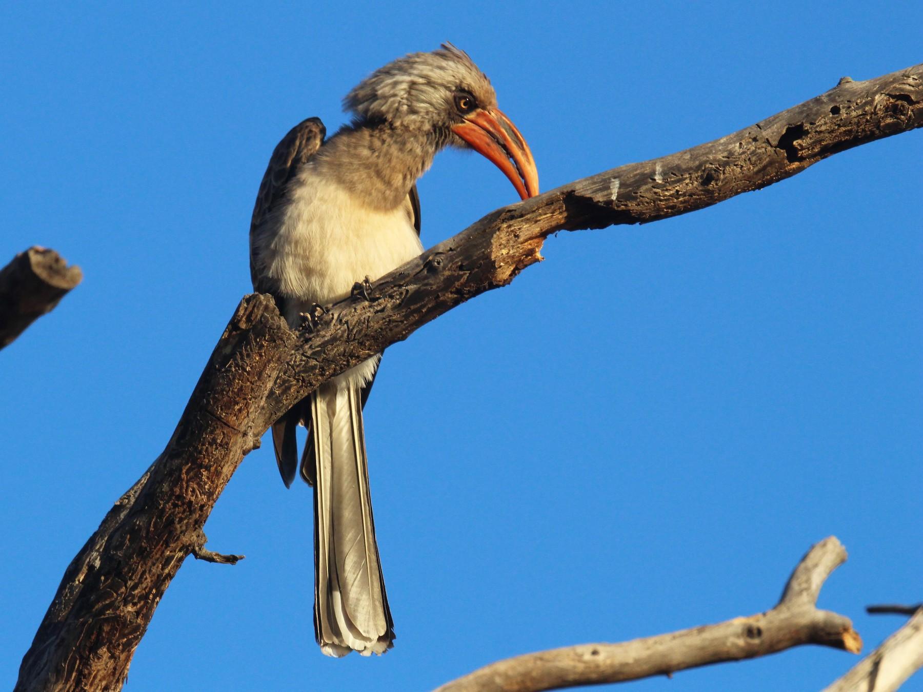 Bradfield's Hornbill - Sandy Schreven