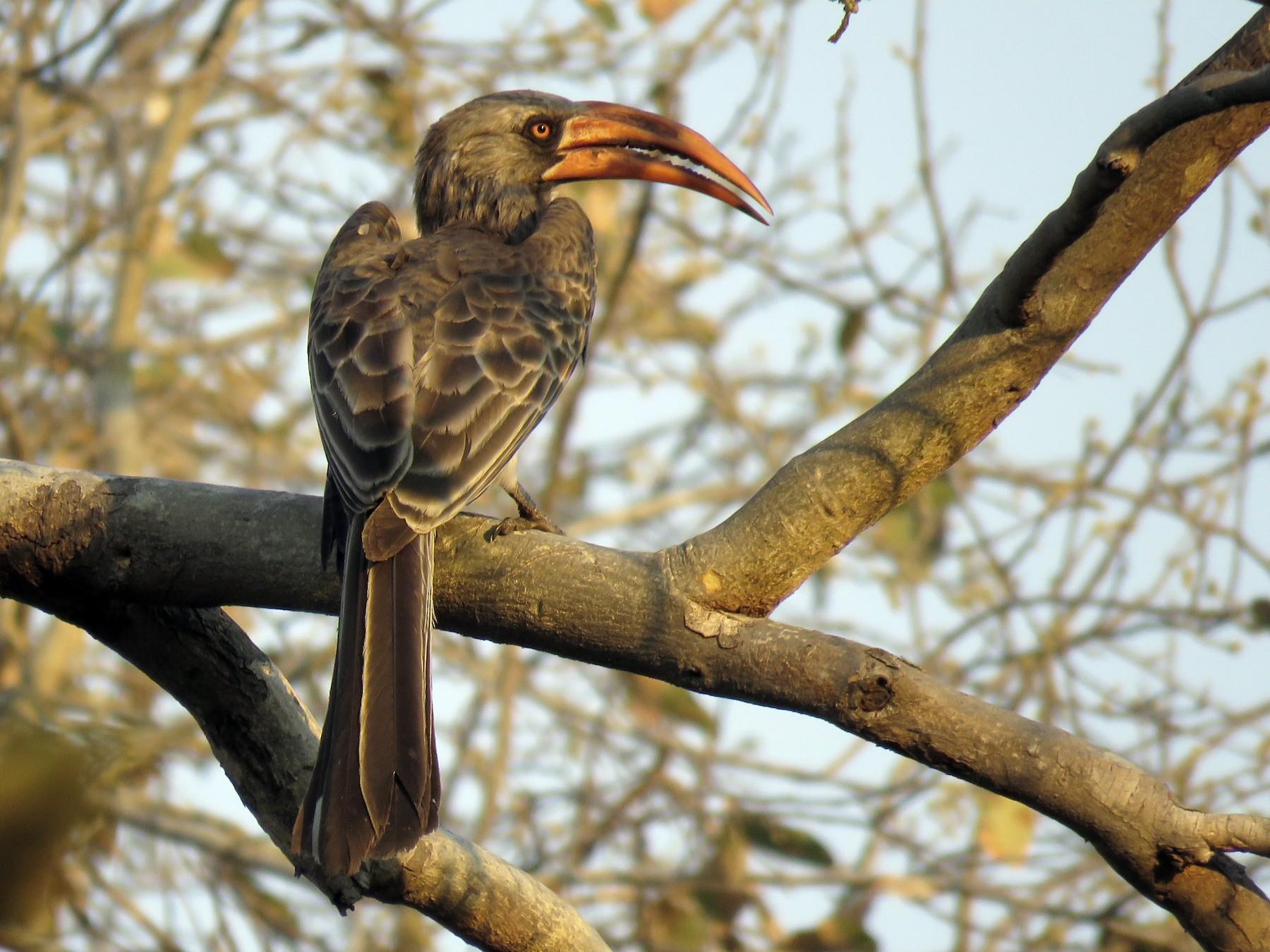 Bradfield's Hornbill - Nick Ramsey