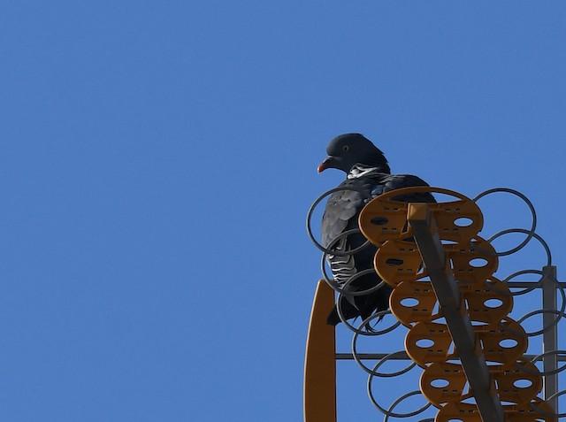 ©Ricard Gutiérrez - Common Wood-Pigeon