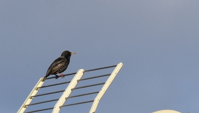 ©Ricard Gutiérrez - European Starling