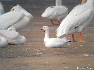 Snow Goose, ML22042041